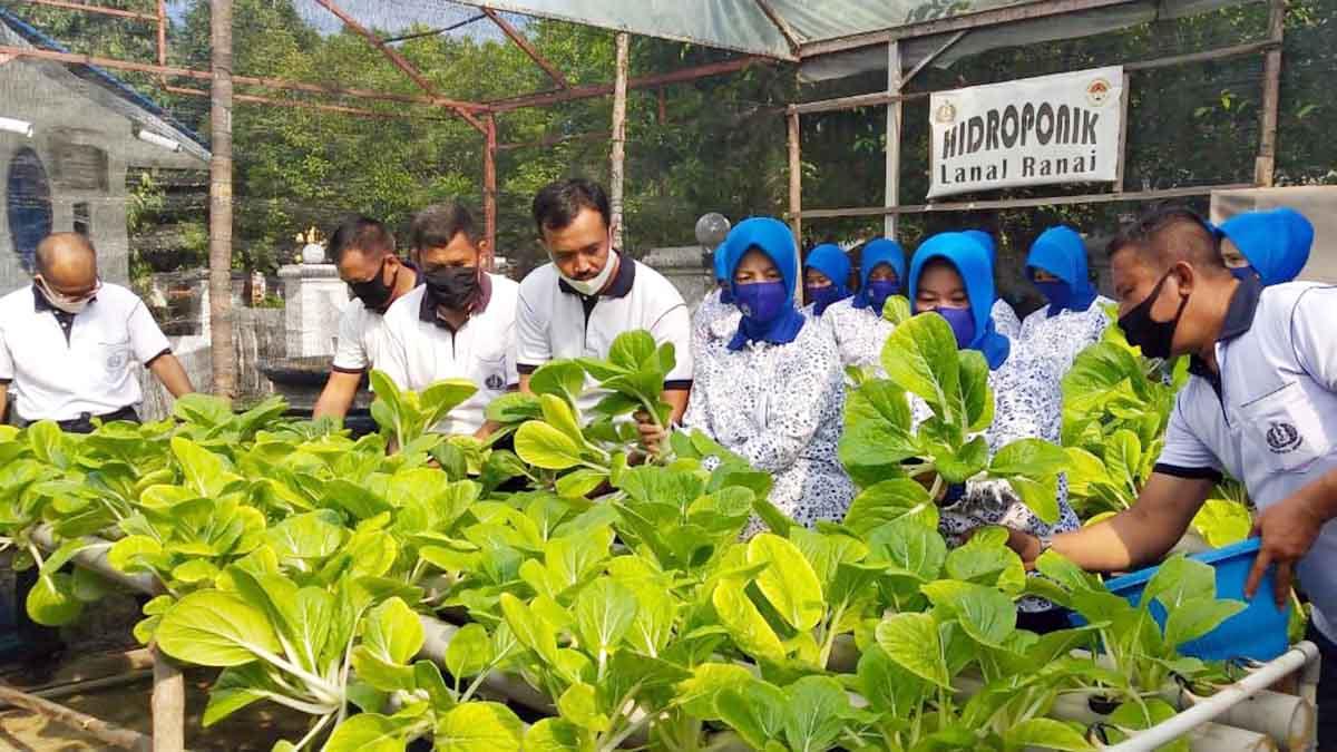 Danlanal Ranai Panen Perdana Sayuran Sawi dan Jagung 7