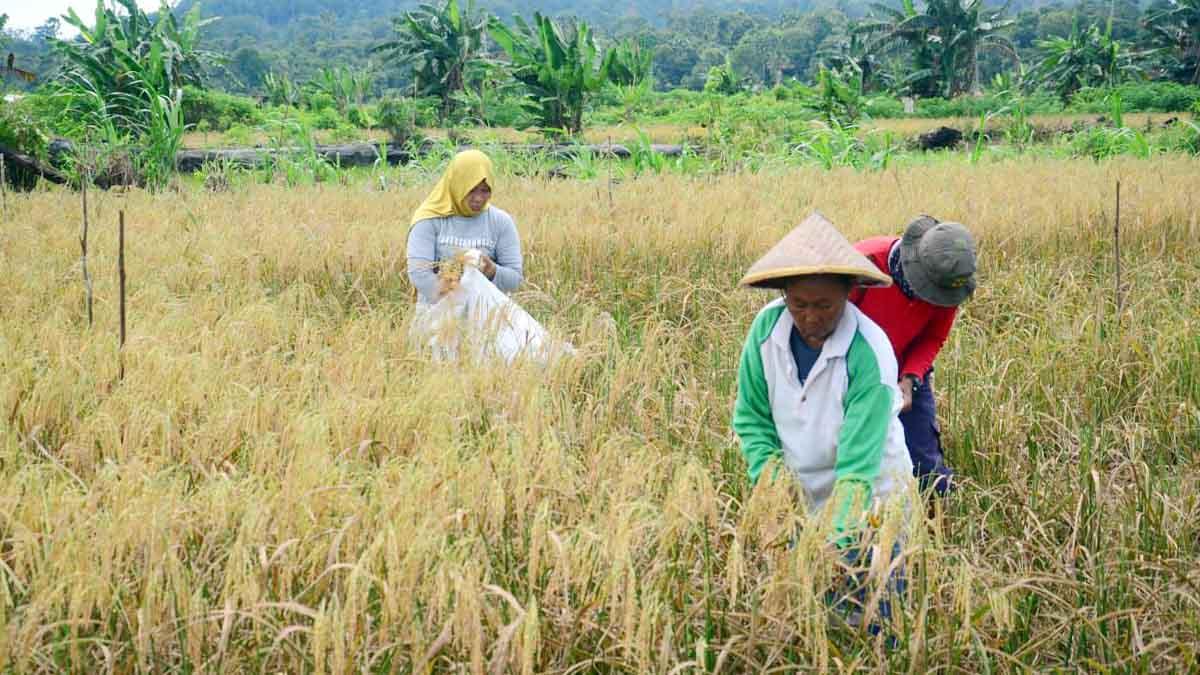 Desa Bukit Langkap Lingga Panen Padi Perdana 8