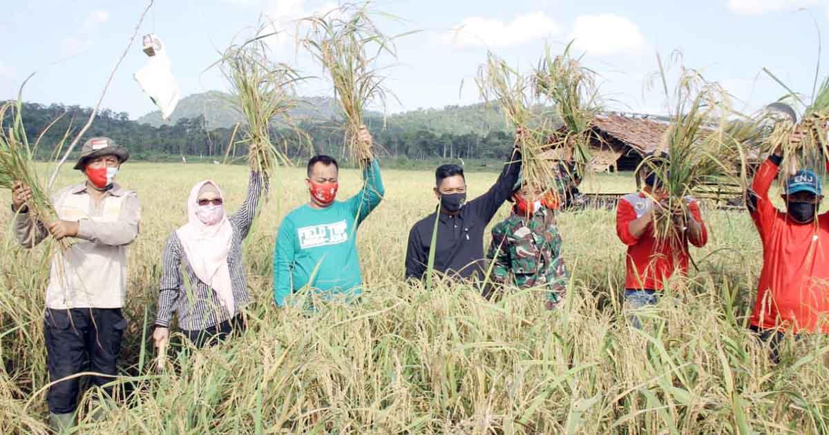 Kembali, Kabupaten Lingga Panen Padi 1