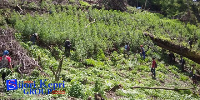 """3,5 Hektar Ladang Ganja """"DIMUSNAHKAN"""""""