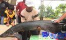 "Pemilik Ikan Arapaima di Deadline 30 Hari ""SERAHKAN IKANNYA"""